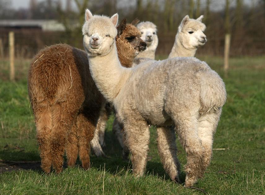 those darn cute alpacas shutterhedge
