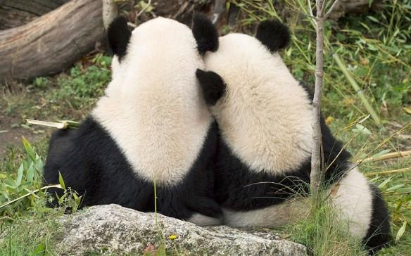 pandas-reunited_2391187k